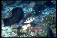 : Pomacanthus paru; French Angelfish