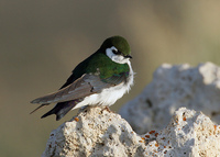 : Tachycineta thalassina; Violet-green Swallow