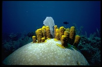 : Aplysina fistularis; Yellow Tube Sponge