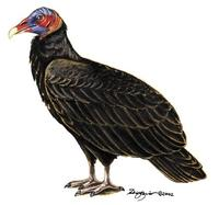 Image of: Cathartes burrovianus (lesser yellow-headed vulture)