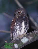 Chestnut-backed Owlet - Glaucidium castanonotum