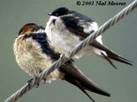 Northern House Martin - Delichon urbica