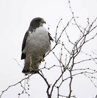 White-tailed Hawk (Buteo albicaudatus) photo