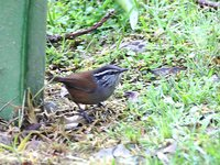 Gray-breasted Wood-Wren - Henicorhina leucophrys