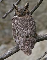Great Horned Owl May 06