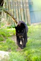 Photo of a Black Jaguar stock photo