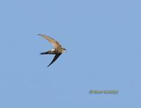Pacific swift C20D 03126.jpg
