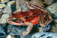 : Rana aurora; Northern Red-legged Frog