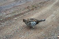 : Bonasa umbellus; Ruffed Grouse