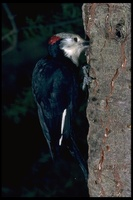 : Picoides albolarvatus; White Headed Woodpecker