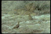 : Pterocles exustus; Chestnut-bellied Sandgrouse