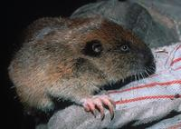 : Thomomys mazama; Western Pocket Gopher