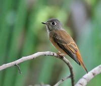Ferruginous Flycatcher » Muscicapa ferruginea