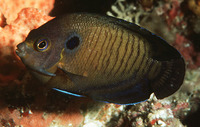 Centropyge multispinis, Dusky angelfish: aquarium