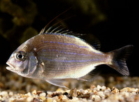 Evynnis cardinalis, Threadfin porgy: fisheries