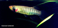 Fundulus dispar, Starhead topminnow: aquarium
