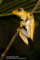 Spotted-thighed Tree Frog - Hyla faciata