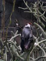 Image of: Cercocebus torquatus (red-capped mangabey)