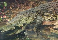 Image of: Crocodylus rhombifer (Cuban crocodile)