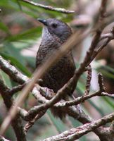 Pale-throated Wren Babbler - Spelaeornis kinneari
