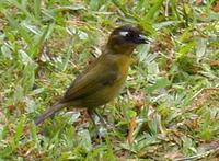 Common Bush-Tanager (Chlorospingus ophthalmicus)