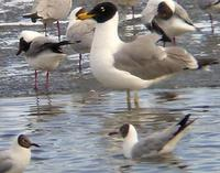 adult Pallas's Gull among Brown-headed Gulls