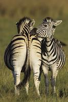 Burchell's Zebra, Equus burchelli, Mutual grooming, Midmar Game Reserve, South Africa (25894)