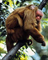 Red bald-headed uakari (Cacajao calvus rubicundus)