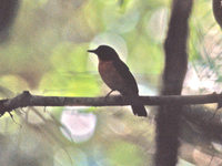 Large-billed Blue Flycatcher - Cyornis caerulatus