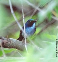 Slaty-blue Flycatcher - Ficedula tricolor