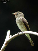 Dark-sided Flycatcher - Muscicapa sibirica