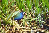 Purple Gallinule - Porphyrio martinica