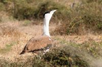 Indian Bustard - Ardeotis nigriceps
