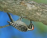 Ladder-backed Woodpecker (Picoides scalaris) photo