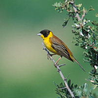 Black-headed Bunting (Emberiza melanocephala) photo