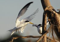 Yellow-billed Tern - Sterna superciliaris