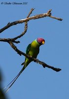 Plum-headed Parakeet - Psittacula cyanocephala