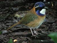 Pitta-like Ground-Roller - Atelornis pittoides