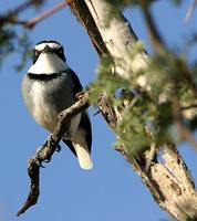 White-tailed Shrike - Lanioturdus torquatus