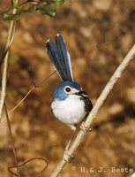 Lovely Fairywren - Malurus amabilis