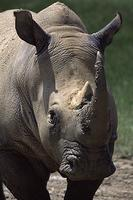 White Rhinoceros (Ceratotherium simum) Status: Lower Risk