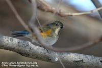Fig. 8. Red-flanked Bluetail : 유리딱새