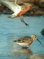 Curlew Sandpipers  (Calidris ferruginea)