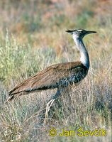 Photo of drop kori, Ardeotis kori, Kori Bustard