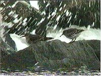 Purple Sandpipers feeding