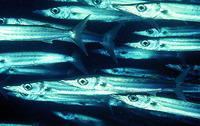 Sphyraena forsteri, Bigeye barracuda: fisheries