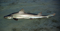 Mustelus mento, Speckled smooth-hound: fisheries