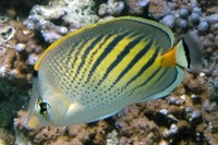 Chaetodon pelewensis, Sunset butterflyfish: aquarium