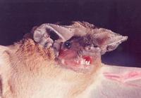 Image of: Tadarida aegyptiaca (Egyptian free-tailed bat)