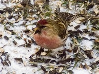 Carduelis flammea - Common Redpoll